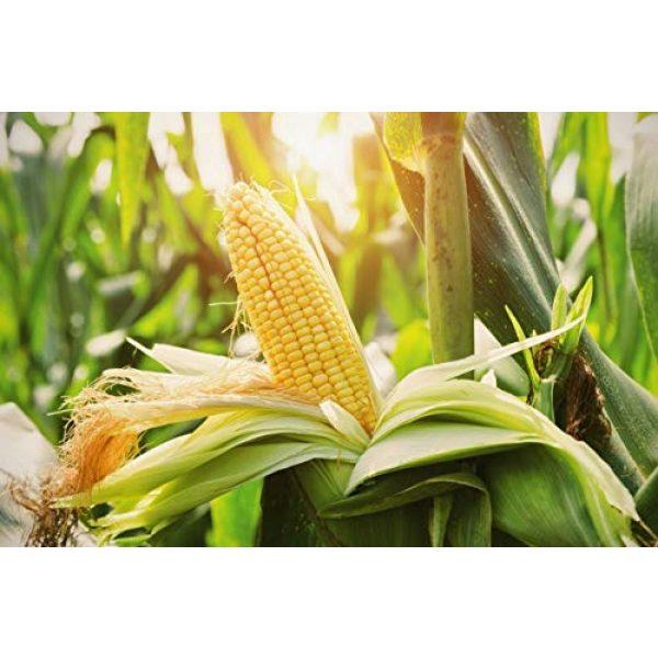 "Isla's Garden Seeds Heirloom Seed 2 ""Top Hat"" OP Sugary Enhanced Hybrid Yellow Corn Seeds, 25+ Premium Heirloom Seeds, Incredible flavor, Hot Price! (Isla's Garden Seeds), Non Gmo Seeds, 85% Germination, Highest Quality Seeds, 100% Pure"
