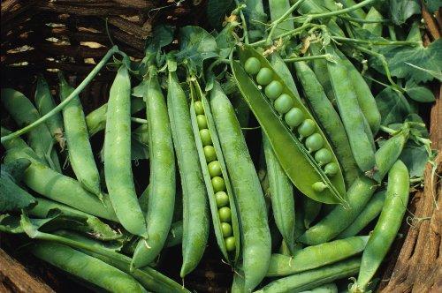Seed Kingdom  1 Pea Green Arrow Great Heirloom Vegetable by Seed Kingdom Bulk 1 Lb Seeds