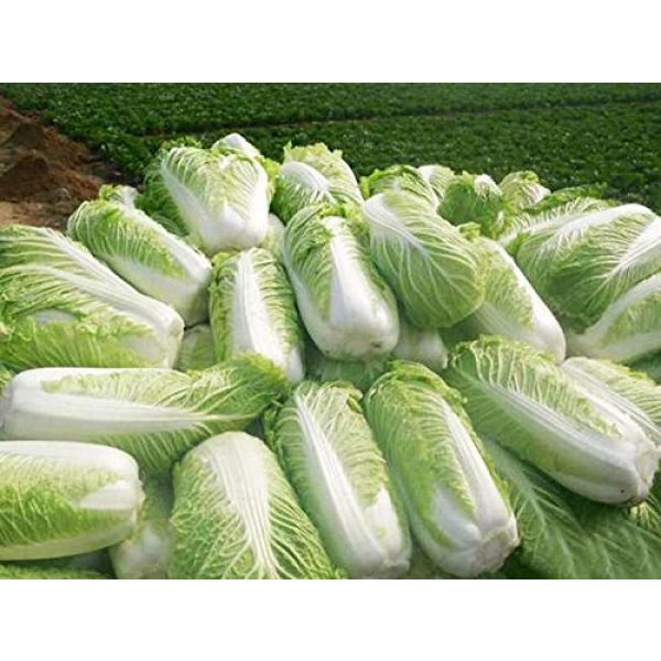 Kuting Organic Seed 2 Cabbage Seeds 10g Garden Vegetable Big Small White Green Red Organic Chinese Flowering Cuisine Cabbage for Planting Outside Door for Cooking Dish Soup Taste Good Delicious (No.3 Cabbage Seeds)