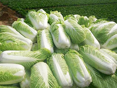 Kuting  2 Cabbage Seeds 10g Garden Vegetable Big Small White Green Red Organic Chinese Flowering Cuisine Cabbage for Planting Outside Door for Cooking Dish Soup Taste Good Delicious (No.3 Cabbage Seeds)
