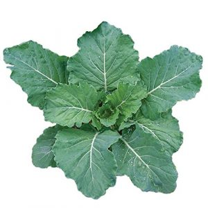 Burpee Heirloom Seed 1 Burpee Georgia Collards Seeds 2000 seeds