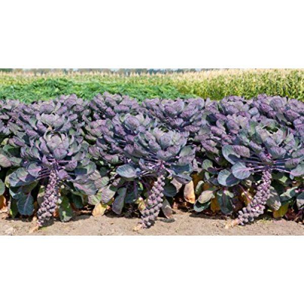 Fertile Ukraine Seeds Heirloom Seed 6 Seeds Brussels Sprouts Rosella Purple Cabbage Vegetable Heirloom Ukraine
