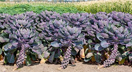 Fertile Ukraine Seeds  6 Seeds Brussels Sprouts Rosella Purple Cabbage Vegetable Heirloom Ukraine