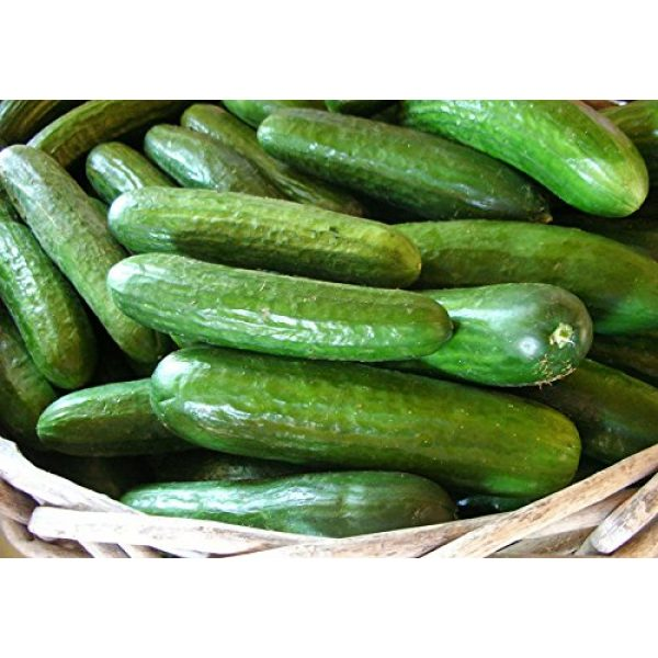 Harley Seeds Heirloom Seed 6 30+ Persian Beit Alpha (A.k.a. Lebanese) Cucumber Seeds Heirloom NON-GMO Crispy Fragrant From USA