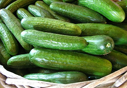 Harley Seeds  6 30+ Persian Beit Alpha (A.k.a. Lebanese) Cucumber Seeds Heirloom NON-GMO Crispy Fragrant From USA