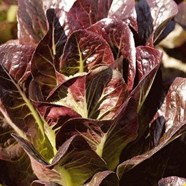 Isla's Garden Seeds Heirloom Seed 3 Red Romaine Lettuce Seeds (Super Red), 1000+ Premium Heirloom Seeds, A Fantastic Addition to Your Lettuce Garden! (Isla's Garden Seeds), Non GMO Survival Seeds, 99.7% Purity