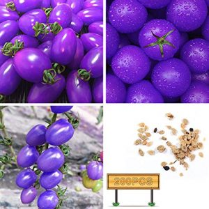 yingyi Organic Seed 1 Purple Tomato Seeds Tomato Seeds Vegetables Seeds Bonsai Vegetables Delicious Tasty Organic Seeds Tomato Plants Seeds for Planting Home Garden Yard Fruits Vegetables Bonsai Balcony Farm Indoor Outdoor