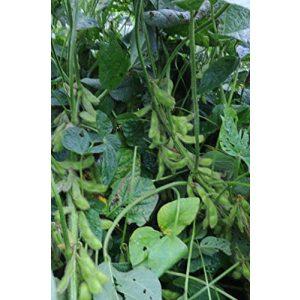 Seed Kingdom Organic Seed 1 Bean Edamame Organic Midori Giant Garden Vegetable Seeds by Seed Kingdom Bulk 5 Lb Seeds