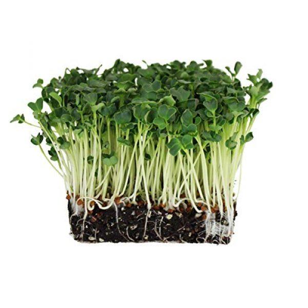 Handy Pantry Organic Seed 2 Organic Radish Sprouting Seeds - 1 Pound Non-GMO Daikon Radish Seeds - Plant & Grow Microgreens Indoors