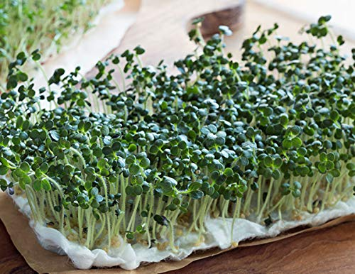 Non-GMO Broccoli Seeds for Sprouting Sprouts Microgreens (8oz of Pure Seed (40000+Seeds)). Country Creek LLC. Brand.