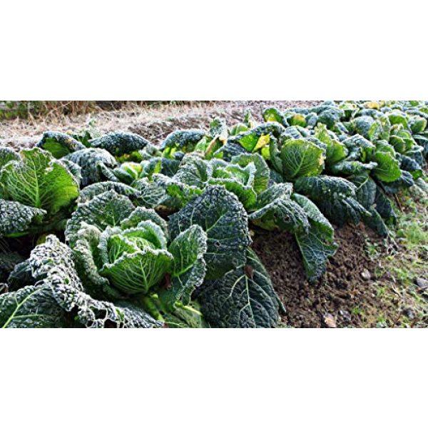 SeedsUA Heirloom Seed 5 Seeds Savoy Cabbage Vertus Beautiful Vegetable Heirloom Ukraine for Planting