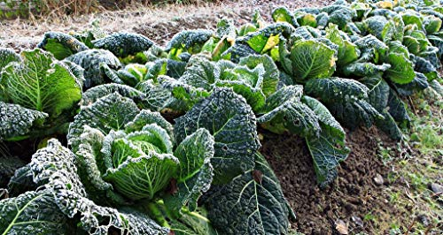 SeedsUA  5 Seeds Savoy Cabbage Vertus Beautiful Vegetable Heirloom Ukraine for Planting