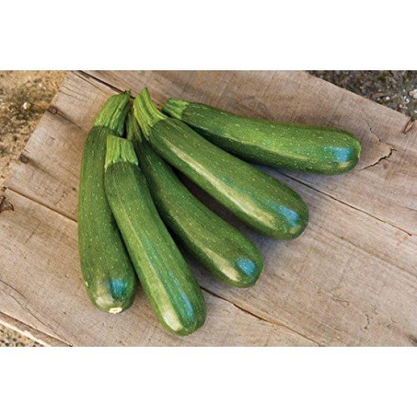 Burpee Heirloom Seed 3 Burpee Fordhook Zucchini Summer Squash Seeds 50 seeds