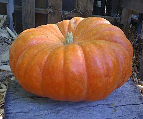 A Must Have Pumpkin in Your Garden! Rouge VIF dEtampes (Isla's Garden Seeds)