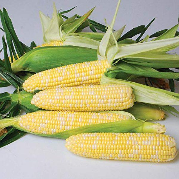 """Isla's Garden Seeds Heirloom Seed 1 """"Nirvana Supersweet"""" Hybrid Corn Seeds, 25+ Premium Heirloom Seeds, So Delicious!,(Isla's Garden Seeds), Non GMO Seeds, 85% Germination, Highest Quality Seeds, 100% Pure"""
