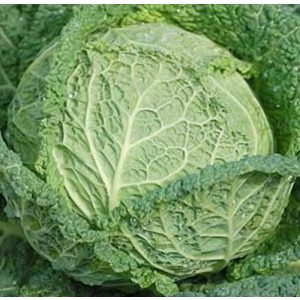 Seed Kingdom  1 Cabbage Savoy Perfection Great Heirloom Vegetable by Seed Kingdom Bulk 5 Lb Seeds