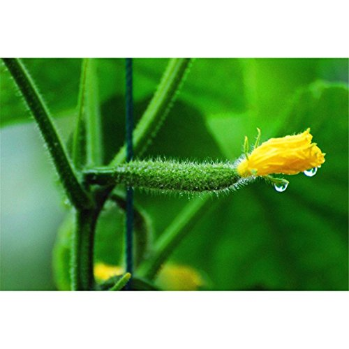 Non-GMO Organic Heirloom Cucumber Seeds
