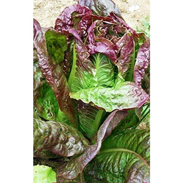 Isla's Garden Seeds Organic Seed 2 Red Romaine Lettuce Seeds, 1000+ Premium Heirloom Seeds, On Sale, (Isla's Garden Seeds), Non Gmo Organic, 90% Germination Rates, Highest Quality, 100% Pure
