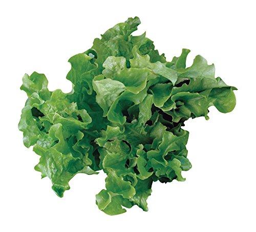 Burpee  1 Burpee Green Salad Bowl Organic Lettuce Seeds 1100 seeds