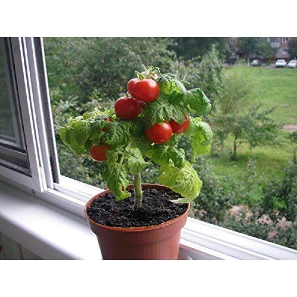 SeedsUA Heirloom Seed 7 Seeds Rare Tomato Indoor Pot Red Early Vegetable Heirloom Ukraine