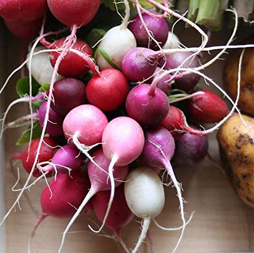 Seed Kingdom  1 Radish Easter Egg Blend Great Heirloom Vegetable by Seed Kingdom Bulk 5 Lb Seeds