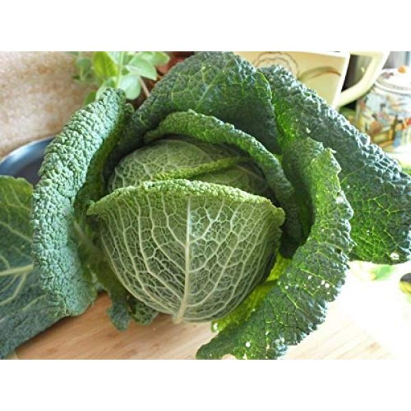 SeedsUA Heirloom Seed 4 Seeds Savoy Cabbage Vertus Beautiful Vegetable Heirloom Ukraine for Planting