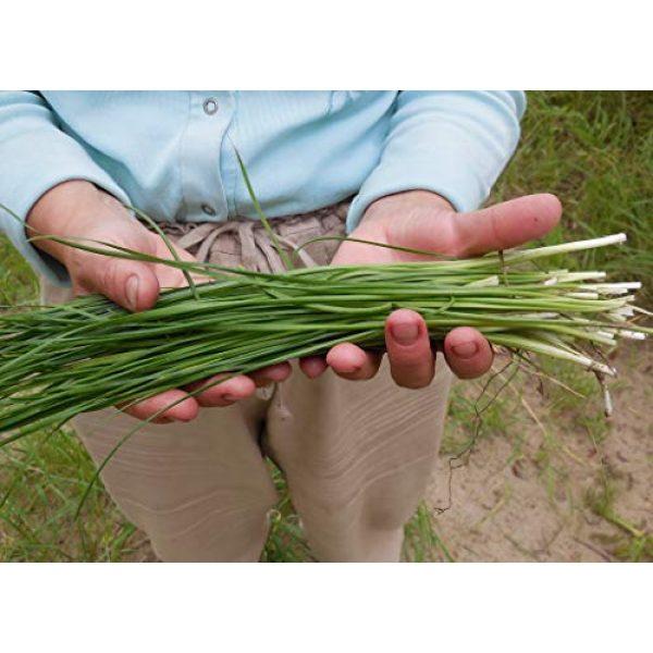 Fertile Ukraine Seeds Heirloom Seed 1 Seeds Chives Onion Green Vegetable Heirloom Ukraine