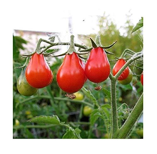 David's Garden Seeds  1 David's Garden Seeds Tomato Pear Red 2123 (Red) 50 Non-GMO
