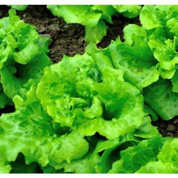 "Isla's Garden Seeds Organic Seed 2 ""Arianna Romaine"" Lettuce Seeds, 1000+ Premium Organic Heirloom Seeds, Batavian Lettuce, ON SALE!, (Isla's Garden Seeds), Non Gmo Survival Seeds, 99.7% Purity, 85% Germination, Highest Quality!"