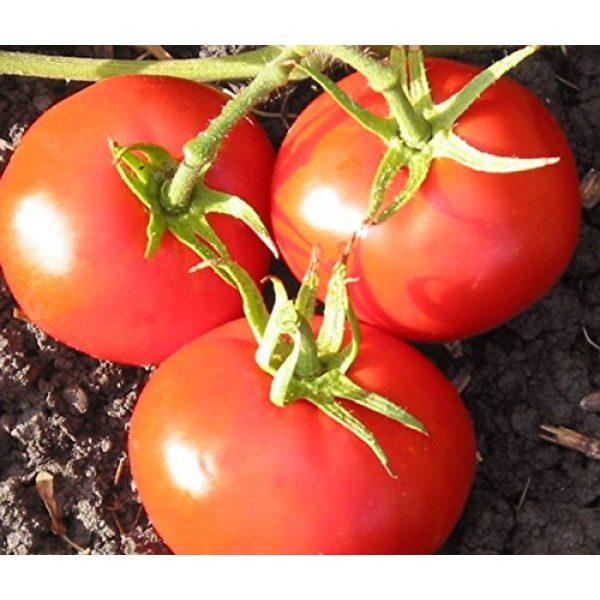 Isla's Garden Seeds Heirloom Seed 3 New Yorker Heirloom Tomato Seeds, 100+ Premium Heirloom Seeds, On Sale & Gardeners Choice Top Seller, (Isla's Garden Seeds), Non GMO, 90% Germination, Highest Quality 100% Pure