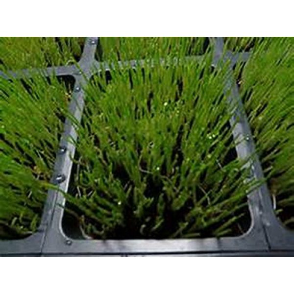 Country Creek Organic Seed 2 Organic, Non-GMO Hard Red Wheat Grass Sprouting Sprouts Microgreens (4 ounce of pure seed). Country Creek LLC. Brand.