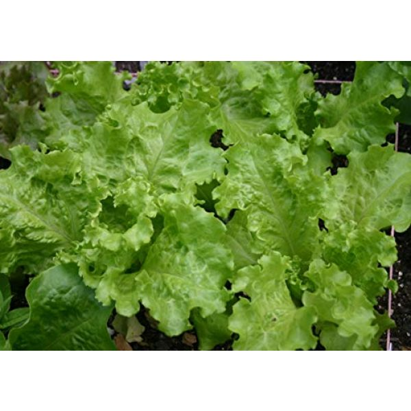 Ohio Heirloom Seeds Heirloom Seed 1 Black-Seeded Simpson Lettuce Seeds- 1,000+ Seeds- Heirloom Variety