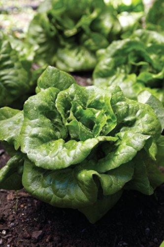 Burpee  4 Burpee Buttercrunch Hybrid (Organic) Lettuce Seeds 1100 seeds