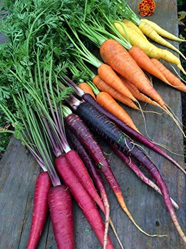 Isla's Garden Seeds  1 Rainbow Blend Carrot Seeds
