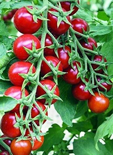 Fertile Ukraine Seeds  1 Seeds Cherry Tomato Red Early Vegetable Heirloom Ukraine