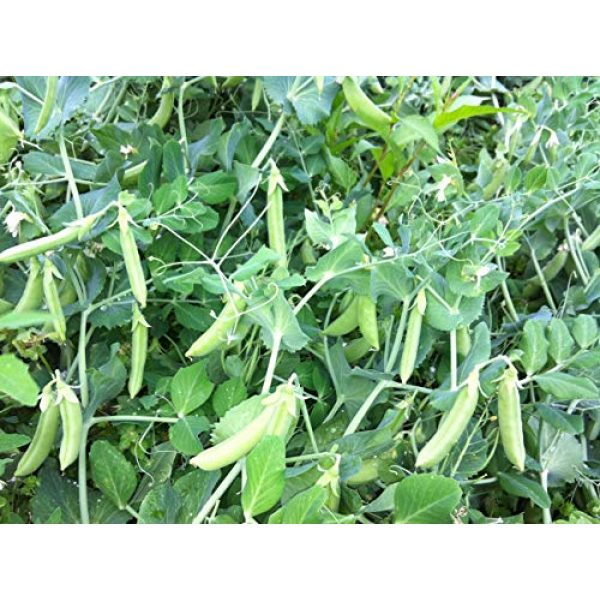 SeedsUA Heirloom Seed 6 Seeds Peas Sugar Giant Sweet Heirloom Vegetable Ukraine