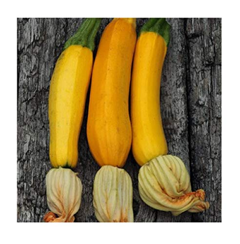 David's Garden Seeds  1 David's Garden Seeds Zucchini Golden 2136 (Yellow) 25 Non-GMO