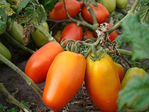 Fertile Ukraine Seeds  7 Seeds Tomato Like Pepper Red Long Vegetable Heirloom Ukraine