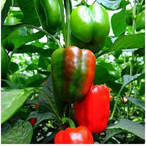 David's Garden Seeds  1 David's Garden Seeds Pepper Bell California Wonder SL3224 (Red) 50 Non-GMO