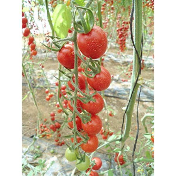 Fertile Ukraine Seeds Heirloom Seed 7 Seeds Cherry Tomato Red Early Vegetable Heirloom Ukraine