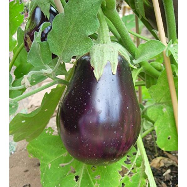 Isla's Garden Seeds Organic Seed 2 Black Beauty Eggplant Seeds, 100+ Premium Heirloom Seeds, Fantastic Addition to Home Garden!, (Isla's Garden Seeds), Non GMO Organic, 90% Germination Rates, Highest Quality, 100% Pure