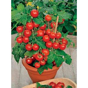 SeedsUA  1 Seeds Rare Tomato Indoor Pot Red Early Vegetable Heirloom Ukraine