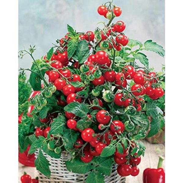 SeedsUA Heirloom Seed 5 Seeds Rare Tomato Indoor Pot Red Early Vegetable Heirloom Ukraine