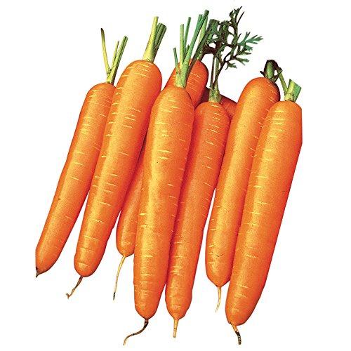 Burpee Organic Seed 1 Burpee Scarlet Nantes Carrot Seeds 3000 seeds