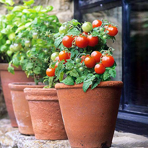 SeedsUA  2 Seeds Rare Tomato Indoor Pot Red Early Vegetable Heirloom Ukraine