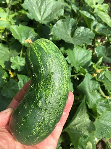 Isla's Garden Seeds  1 Spacemaster Cucumber Seeds