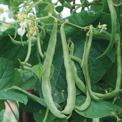 Dirt Goddess Super Seeds  3 Bulk Organic Kentucky Wonder Pole Beans (1/2 Lb)