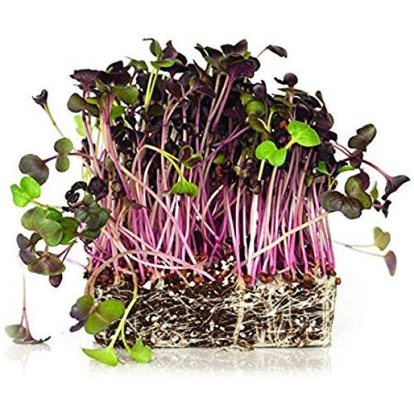 Isla's Garden Seeds Heirloom Seed 1 Microgreens Rambo Radish Seeds, Fantastic Addition to Salads! 200+ Premium Heirloom Seeds, Perfect for Your Home Garden!,(Isla's Garden Seeds), Non GMO, 90% Germination,