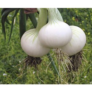 SeedsUA Heirloom Seed 1 Seeds Onion White Queen Giant Vegetable Heirloom Ukraine