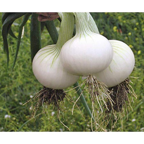 SeedsUA Heirloom Seed 1 Seeds Onion White Queen Giant Vegetable Heirloom Ukraine